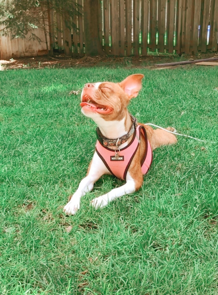 Penny the red Boston terrier